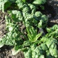 bloomsdale-spinach