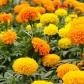 crackerjack-mix-marigolds