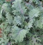 red-russain-kale