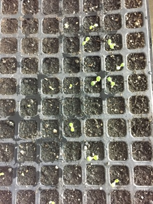A 200 tray with brand new lettuce seedlings- 5 days after planting