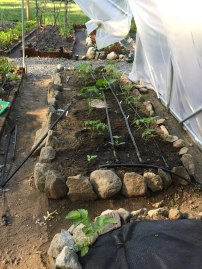 baby tomato plants transplanted weeks before outside tomatoes because of increased protection