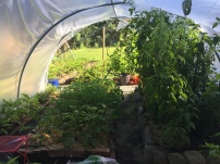 Tomatoes taking over tunnel, producing fruit weeks before outside tomatoes