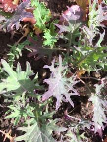 Succulent Baby Kale